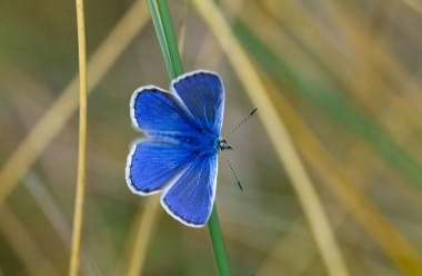 Common Blue Butterfly 1 LCampbell.jpg