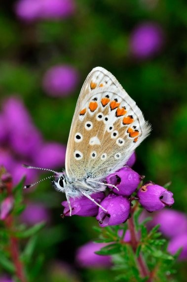 Common Blue Butterfly 2 LCampbell.jpg