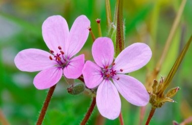 Common Storksbill 1 LCampbell.jpg