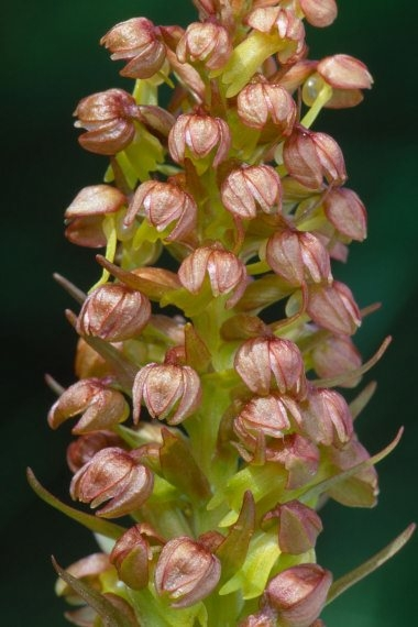 Frog Orchid 1 LCampbell.jpg