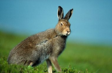 Mountain Hare 1 LCampbell.jpg