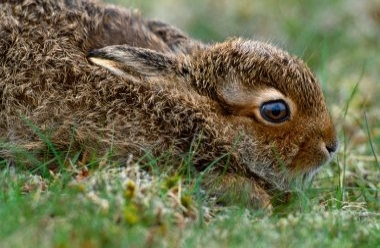 Mountain Hare 2 LCampbell.jpg