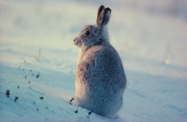 Mountain Hare 3 LCampbell.jpg