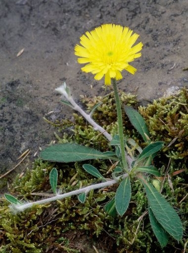 Mouse Ear Hawkweed 1 LCampbell.jpg