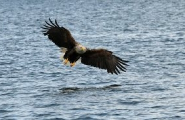 Sea Eagle 1 CReddick.jpg