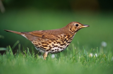 Song Thrush 1 LCampbell.jpg