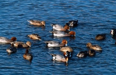 Wigeon 1 LCampbell.jpg