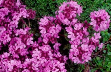 Wild Thyme 1 LCampbell.jpg