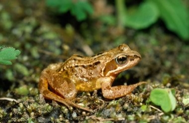 common frog 19bLCampbell.jpg