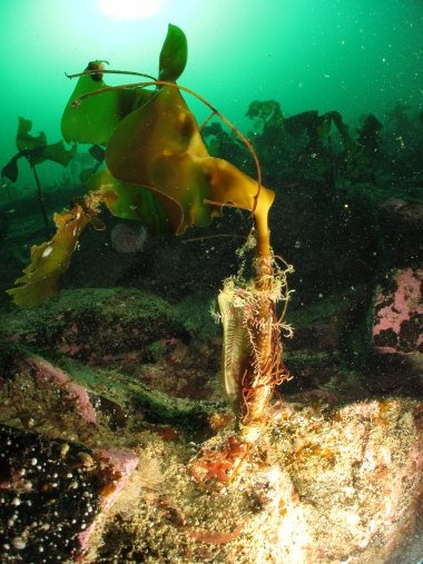 forest kelp with epiphytes.jpg