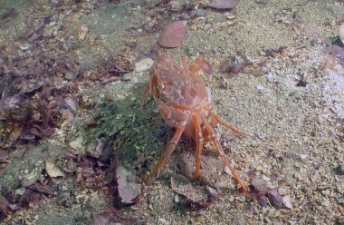 orange swimming crab.jpg