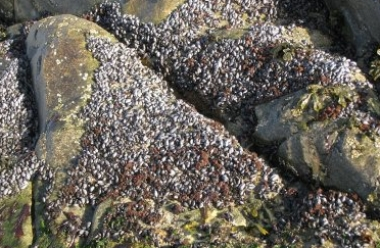 small mussels on exposed rock.jpg